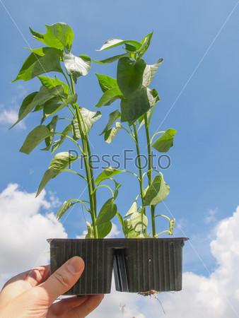 Plug pepper plant