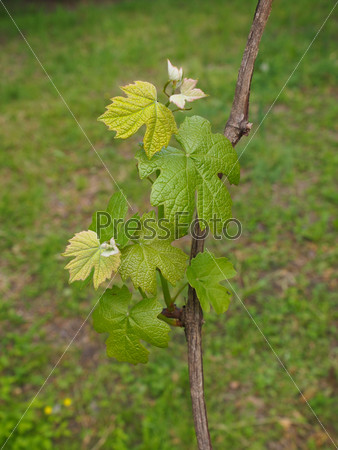 Vitis plant