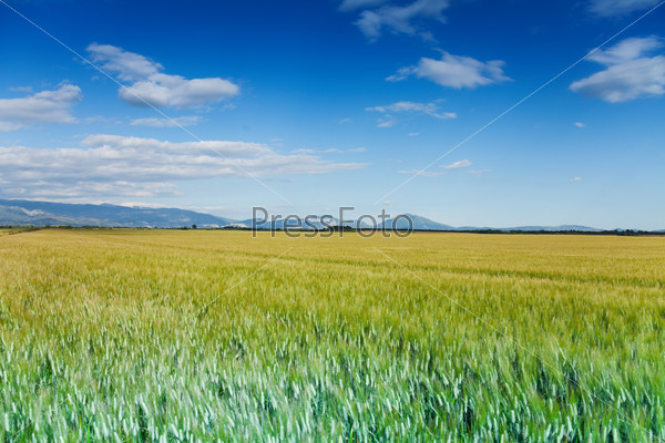 Green and yellow field with horizon in summer