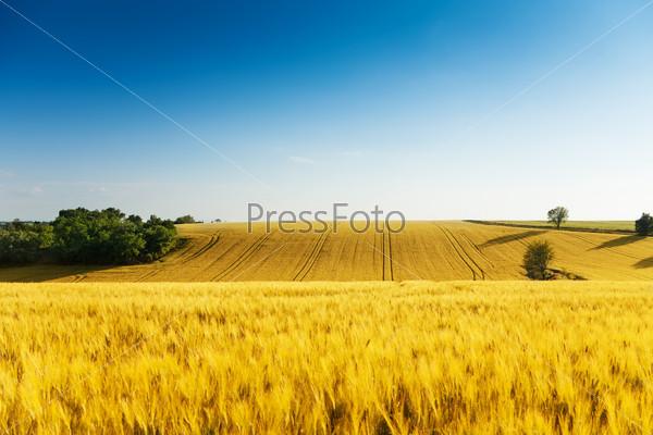 Beautiful yellow wavy field is summer