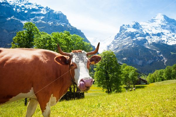 Funny cow with long tongue
