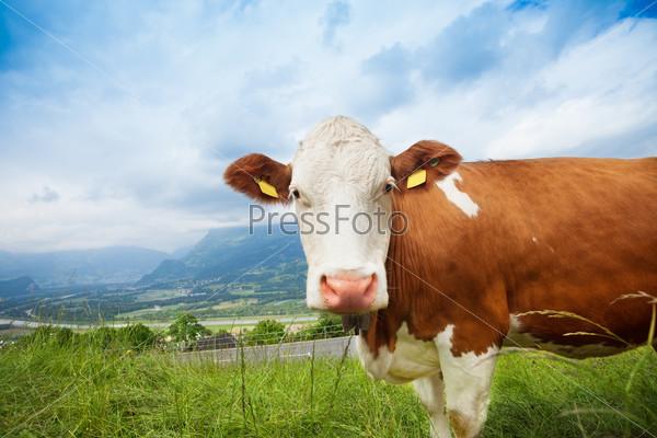 Closeup of a cow