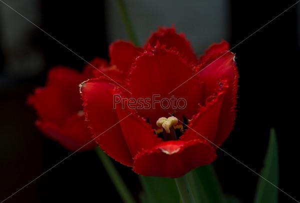 Бордовый тюльпан крупным планом