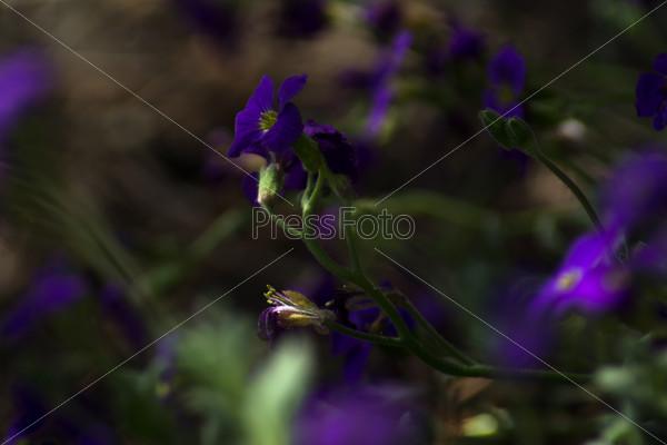 Сиреневый полевой цветок общий план