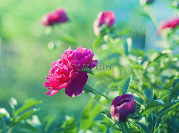 Peony field in meadow during sunrise