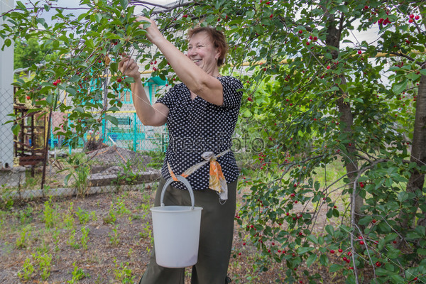 Жизнерадостная женщина собирает вишню с дерева