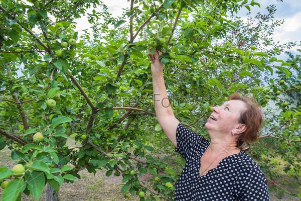 Женщина радуется радуется зреющим на дереве яблокам