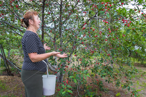 Женщина восхищается большим урожаем вишни