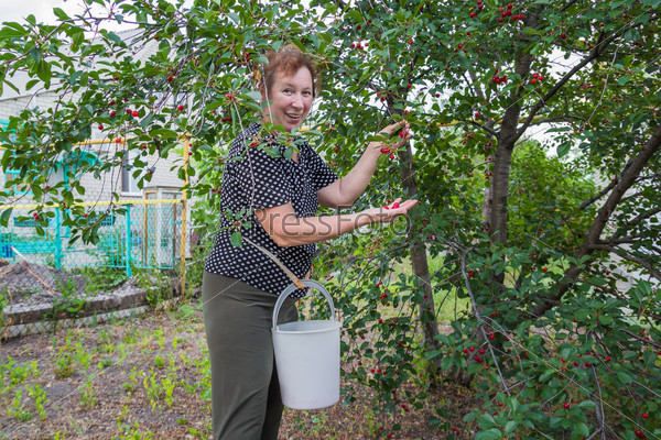 Женщина собирает вишню с дерева в саду