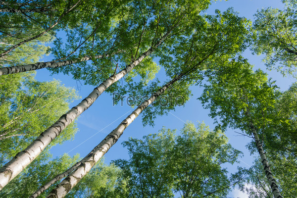 Birch against the sky.
