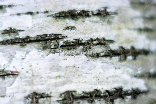Texture of birch bark.