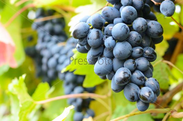 Синий виноград на лозе