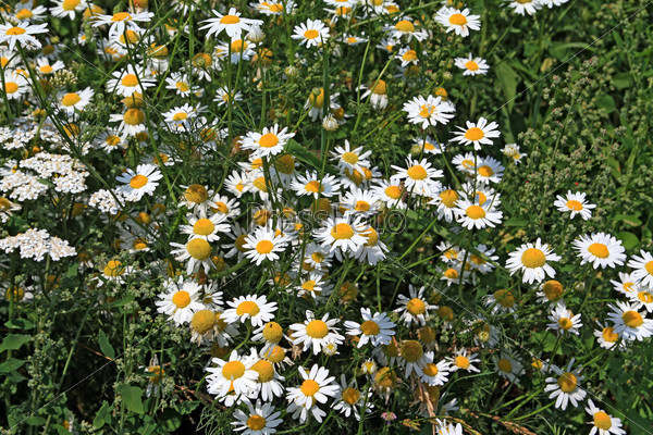 Белые ромашки на зеленом поле
