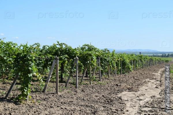 Виноградные сады фото