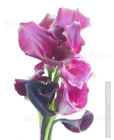 Calla lilly flowers