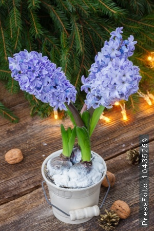winter blue hyacinth