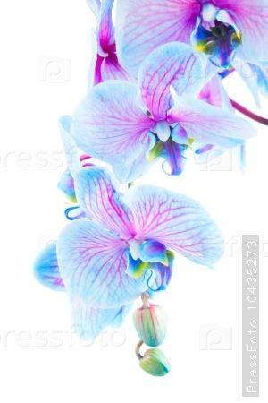 stem of blue orchids