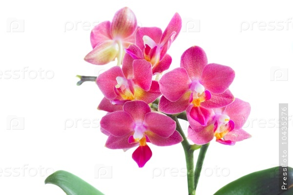 Fresh pink orchid