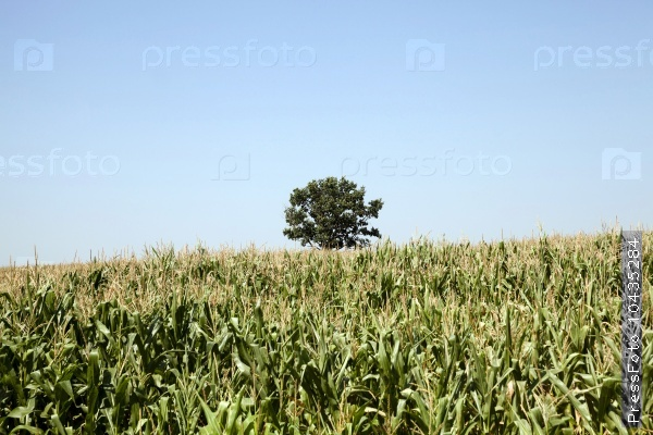 corn field. Agricultural