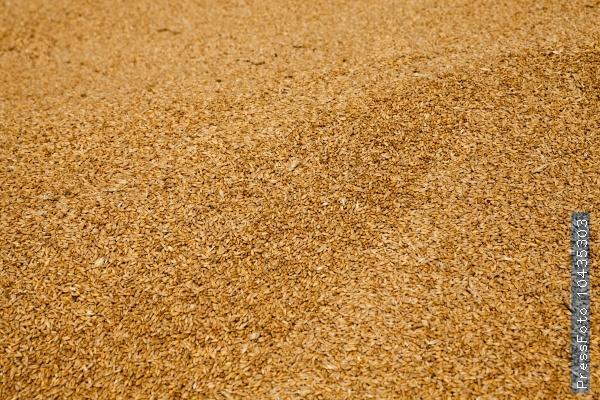 grain wheat .   heap