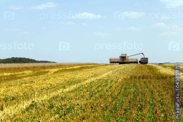 harvesting   cereals . field