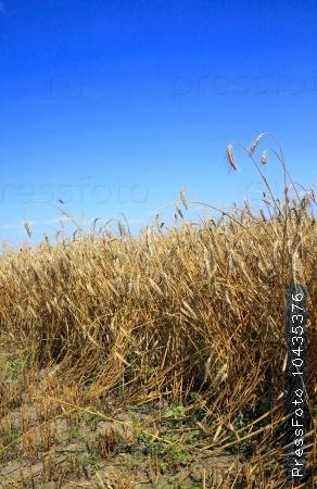 cereals during harvest