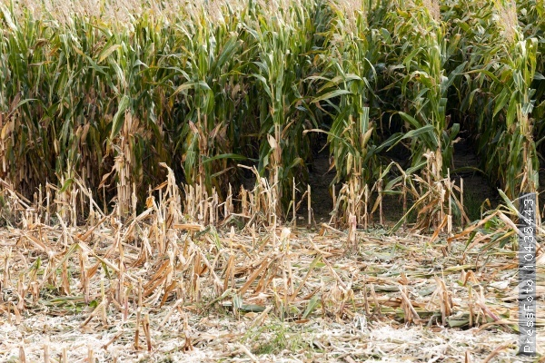 harvesting of corn