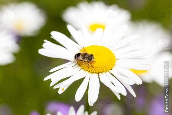 white daisy. spring
