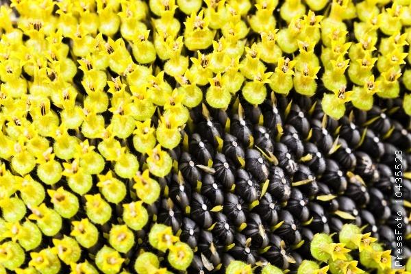 sunflower seeds.  corolla
