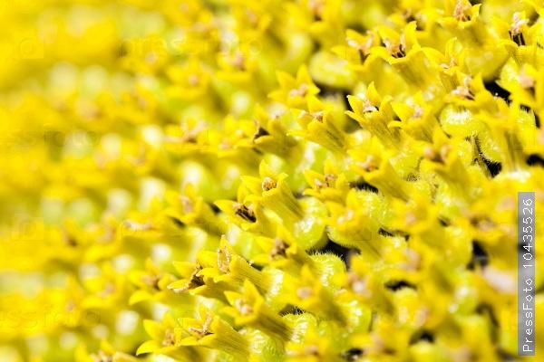 yellow flower sunflower