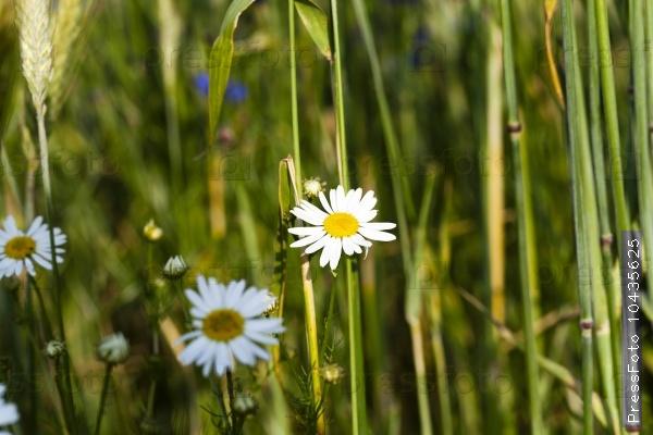 daisy flowers  . summer