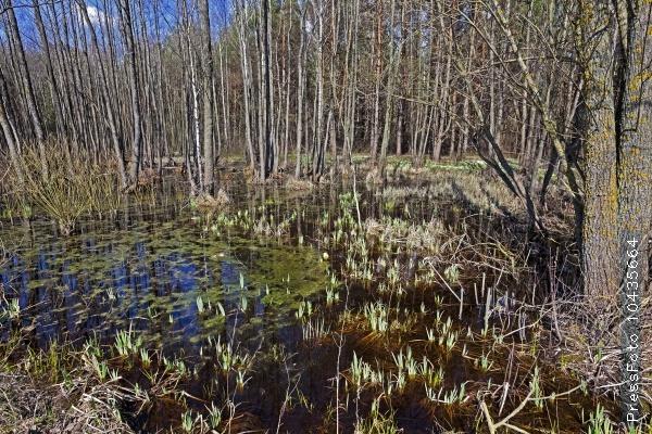 swamp spring . close-up