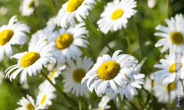 white daisy . spring