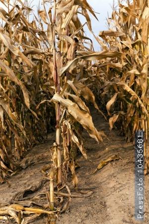 mature corn. autumn