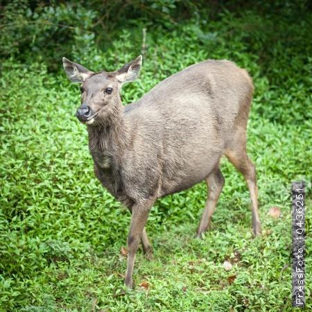 Sri Lankan sambar deer female