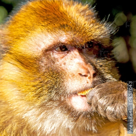 bush monkey in africa morocco and natural background fauna close