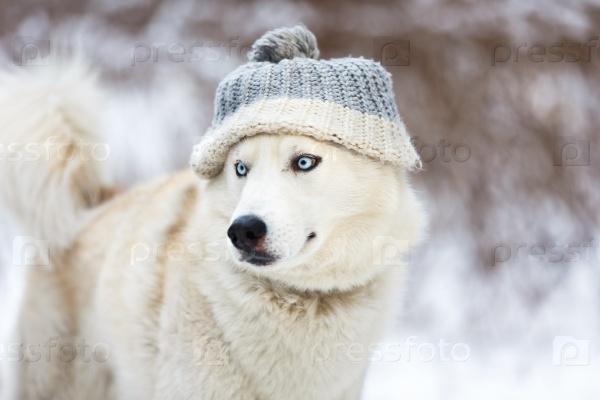 Белый хаски в шапке