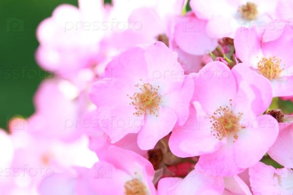 Дикий розовый куст