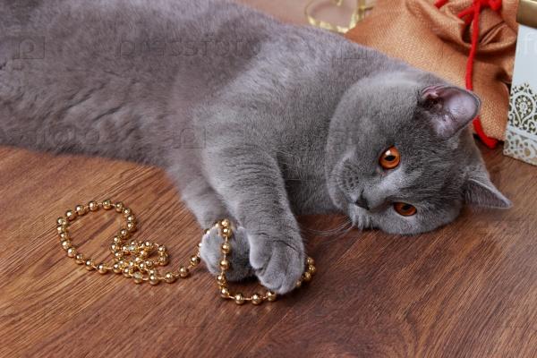 Пушистый британский кот