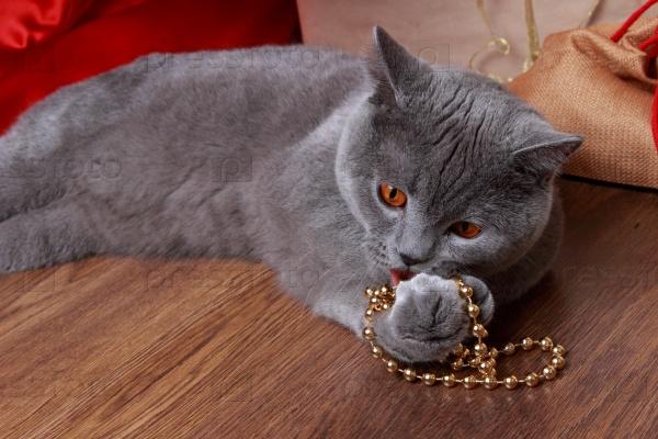 Британский серый кот