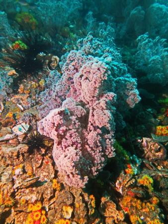 Мягкий корал