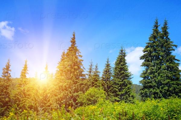 Еловый лес на холме