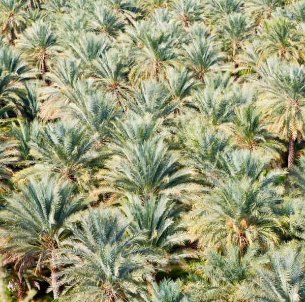 Выращивания пальмовых плодов