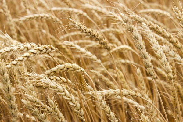 Спелые колосья пшеницы