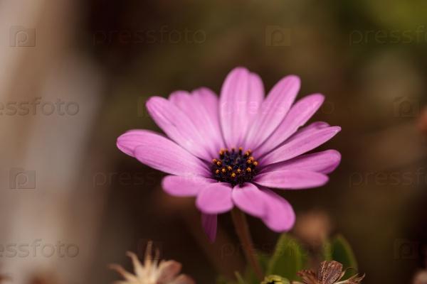 Фиолетовые цветы герберы