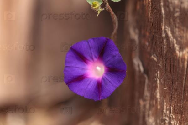 Фиолетовый цветок Ипомея
