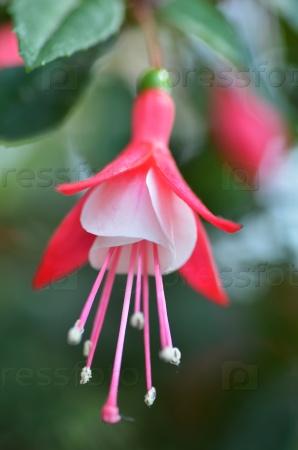 Балерина цветы