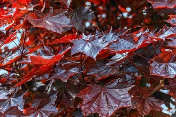 Фон кленовых листьев