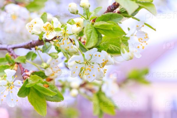 Яблоня в цветах