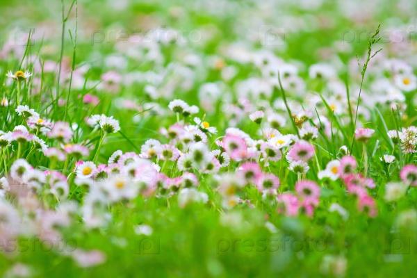 Белые и Розовые маргаритки